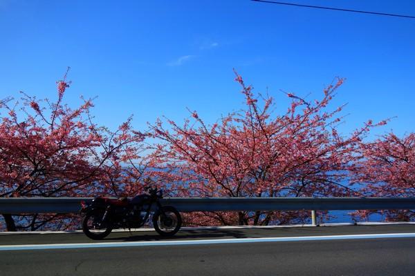 八幡浜の寒桜